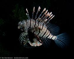 BD-090407-Fury-Shoal-4073007-Pterois-volitans-(Linnaeus.-1758)-[Red-lionfish.-Drakfisk].jpg